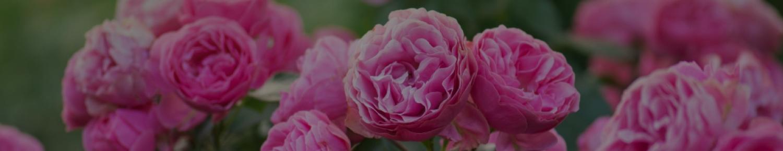 Украсьте свой сад изящными розами