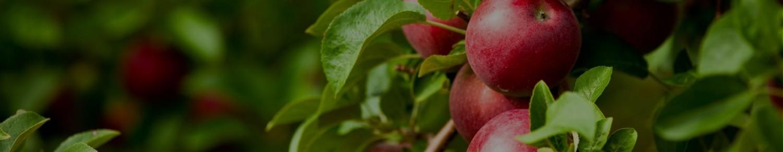 Саженцы яблони от 520 рублей
